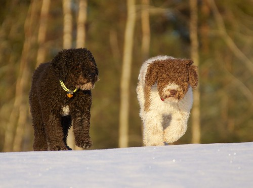 winter dogs nature animals season time personal elli sira spanishwaterdog stockcategories 70300mmf4556gssm