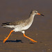 Redshank Runner by Chas Moonie-Wild Photography