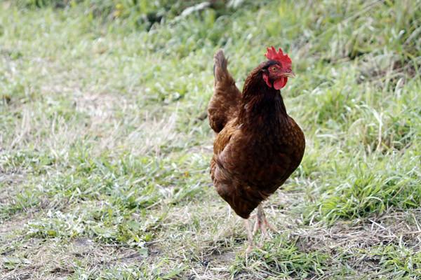 stray chicken