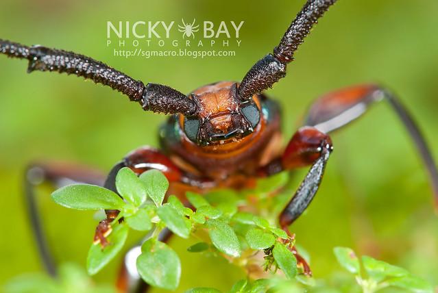 Longhorn Beetle (Xystrocera festiva) - DSC_8290