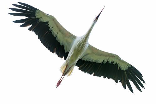 [フリー画像素材] 動物 2, 鳥類, コウノトリ ID:201211050400