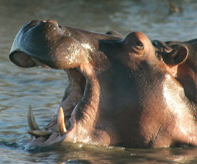 Hippo yawning in iSimangaliso Wetland Park, South Africa