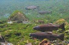 圖1. 台灣櫻花鉤吻鮭為改變洄游習性的陸封型魚類(引自曾晴賢,2002)