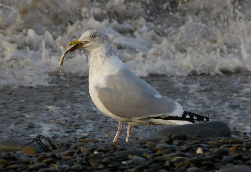 29180 - Herring Gull and fish, Aberystwyth