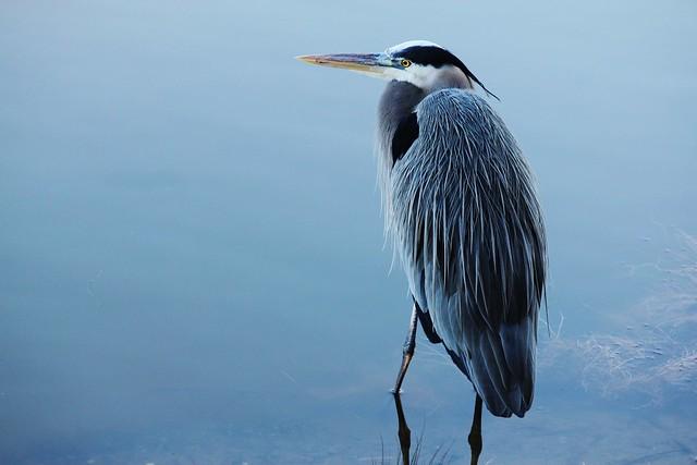 water fowl photography heron