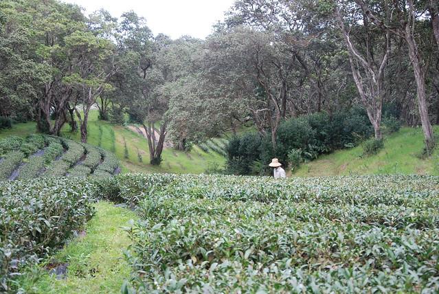 Mauna Kea Tea Farm, Hawaii