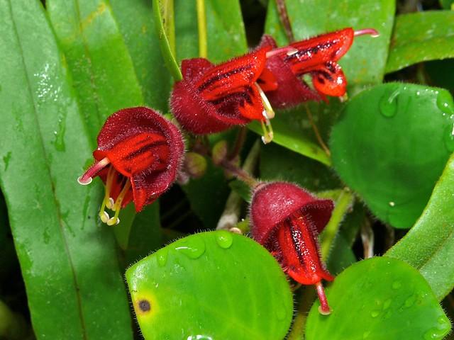 Header of Aeschynanthus tricolor