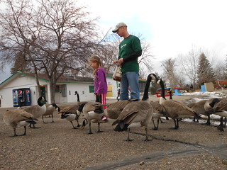Feeding the geese at Gibson Park (11)
