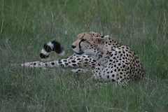 The Cheetah Whose Dinner Got Away