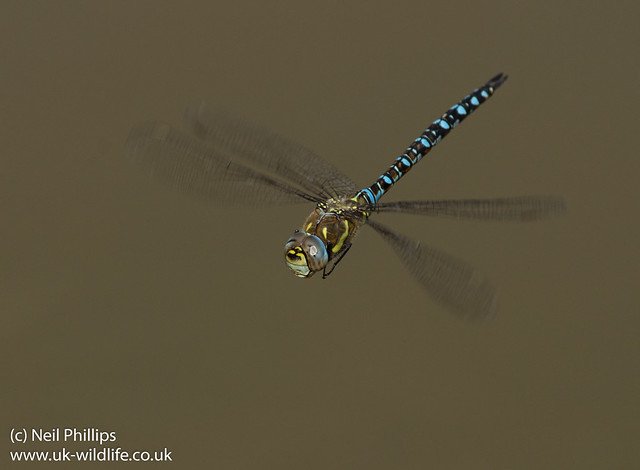 Migrant hawker Aeshna mixta in flight-2