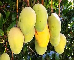 Mango #370: VALENCIA PRIDE