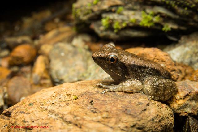 Juvenile Holst's frog blending in