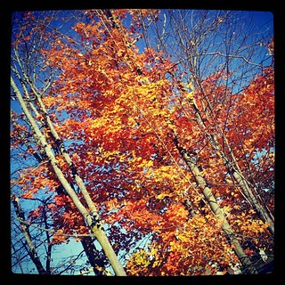 #newhampshire #fall #foliage #leaves #tree #sky #happy #love #leaf #orange #picoftheday