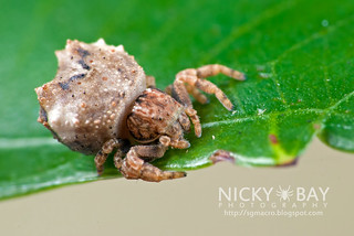 Crab Spider (Boliscus sp.) - DSC_8838