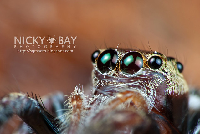 Jumping Spider (Salticidae) - DSC_8657