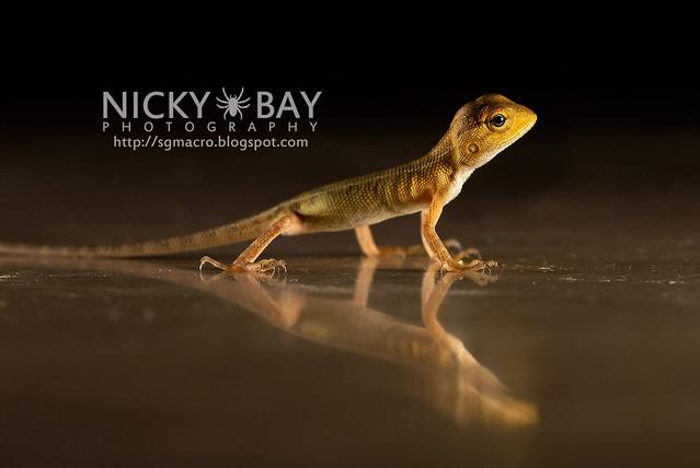 Changeable Lizard (Calotes versicolor) - DSC_7875