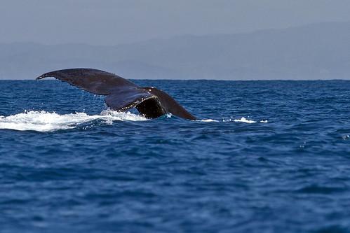 Humpback Whale (Knölval)