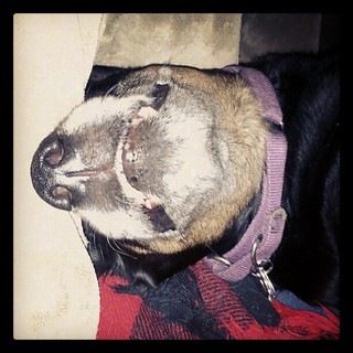 #dogs #sleepy #sniffer #smile #dobermanmix #dobiemix #rescue #adoptdontshop #dogstagram #love