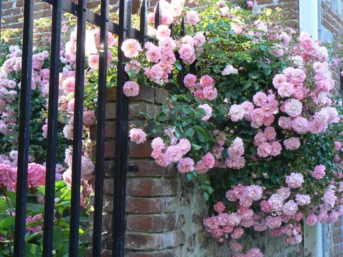 les roses de veules.jpg