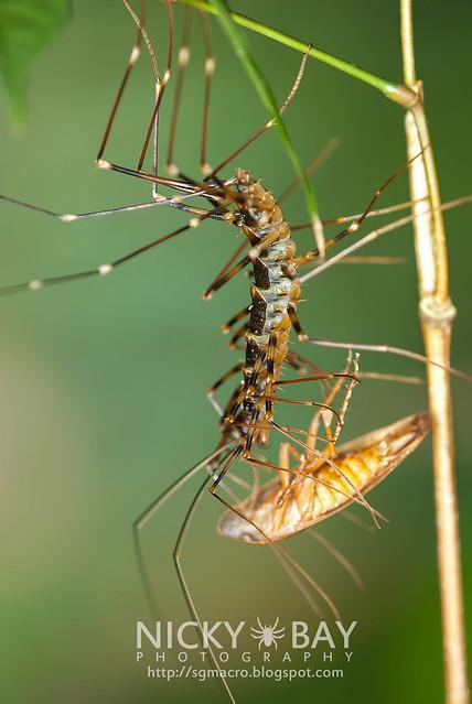 House Centipede (Scutigeridae) - DSC_5882