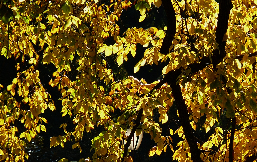 American Elm Fall Colors