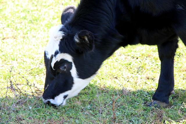 Black Angus grazing