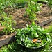 Go Green To Save Money - Growing Your Own Fresh Herbs (4)