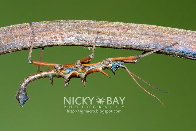 Stick Insect (Phasmatodea) - DSC_2151