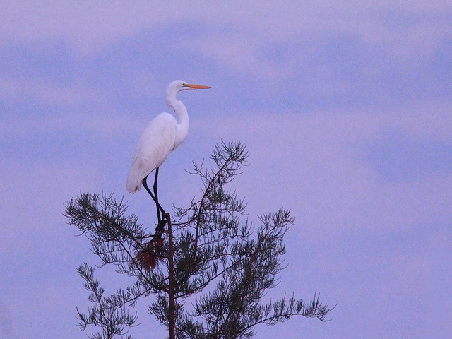 Great Egret 20121020