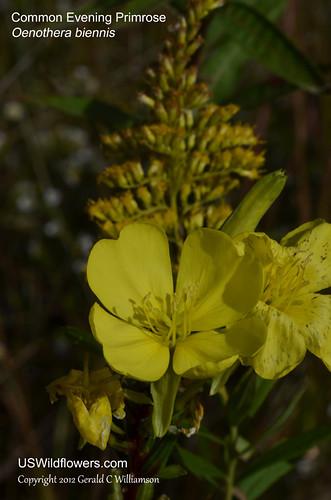 Common Evening Primrose - Oenothera biennis