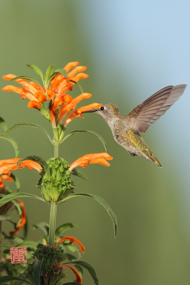 Anna's Hummingbird 102012-3