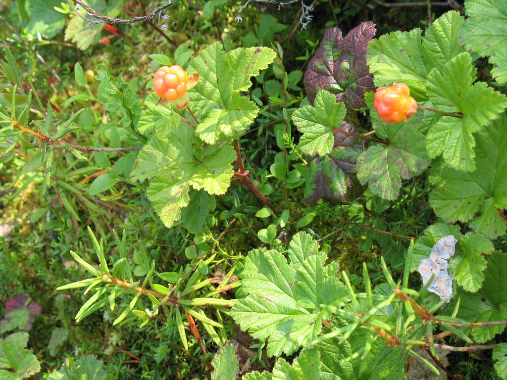Rubus chamaemorus. Автор фото:Виктор Кукконен