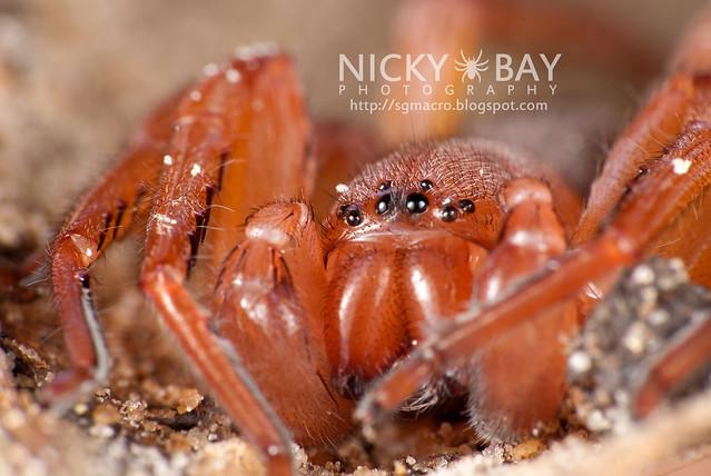 Huntsman Spider (Sparassidae) - DSC_0747