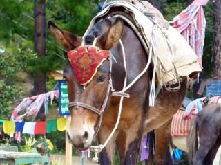 sikh pony