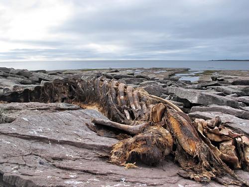 Dead whale on Île aux Bois
