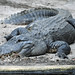 Small photo of American Alligator (Alligator mississippiensis)