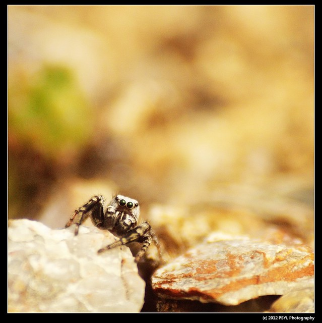 Unknown Jumping Spider (Family Salticidae) in Yukon