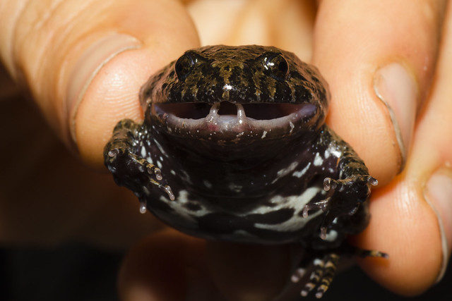 Adelotus brevis - Tusked frog
