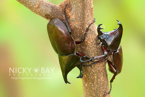 Rhinoceros Beetles (Dynastinae) - DSC_7768