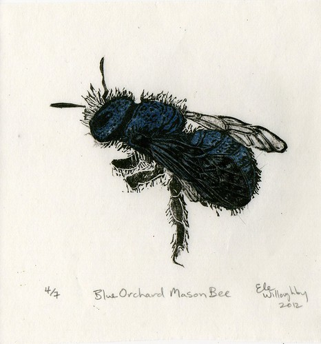 Blue Orchard Mason Bee