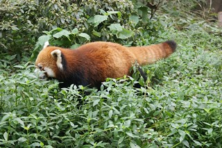 Red Panda looking for Bamboo