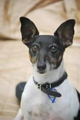 dog breed, animal, dog, pet, miniature fox terrier, toy fox terrier, english toy terrier, rat terrier, carnivoran,