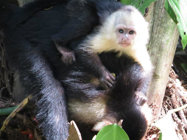 Costa Rica Big Cats, Primates and Turtle Conservation ...