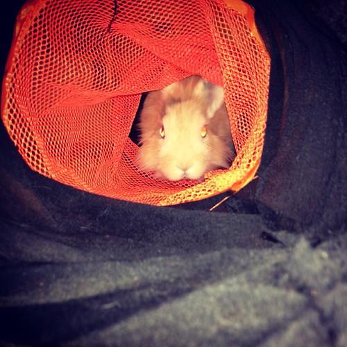 El nuevo juguete de Lou, un túnel de tela! :p