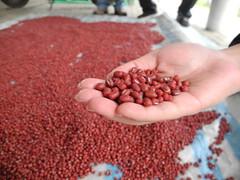 自然風乾的紅豆,晶瑩剔透。