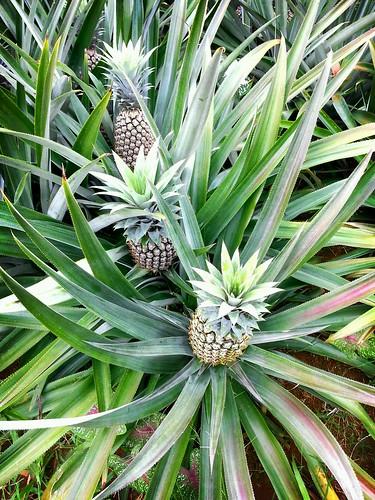 plantation pineapplefarm ormoccity flickrandroidapp:filter=berlin