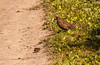 Brown Quail and chick