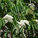 Small photo of Sambucus peruviana of the Adoxaceae