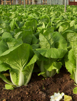Chinese cabbage 3