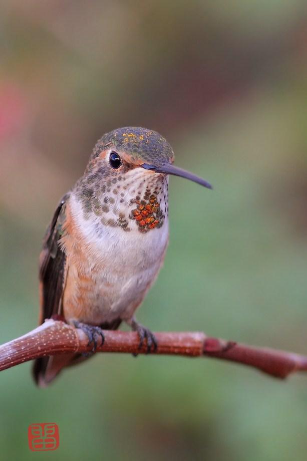 Allen's Hummingbird 110812